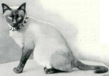 Cora, Siamese of 1898
